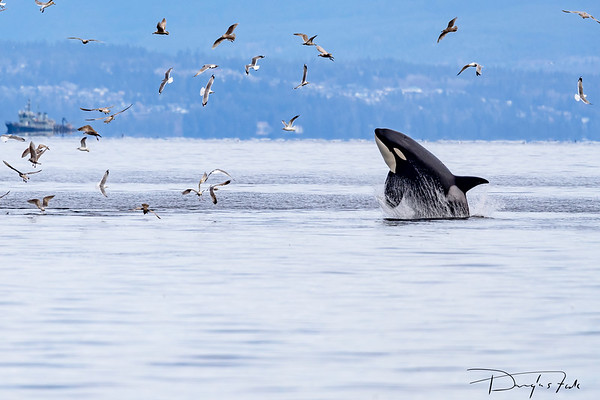 Orca- breaching at Rocky Point