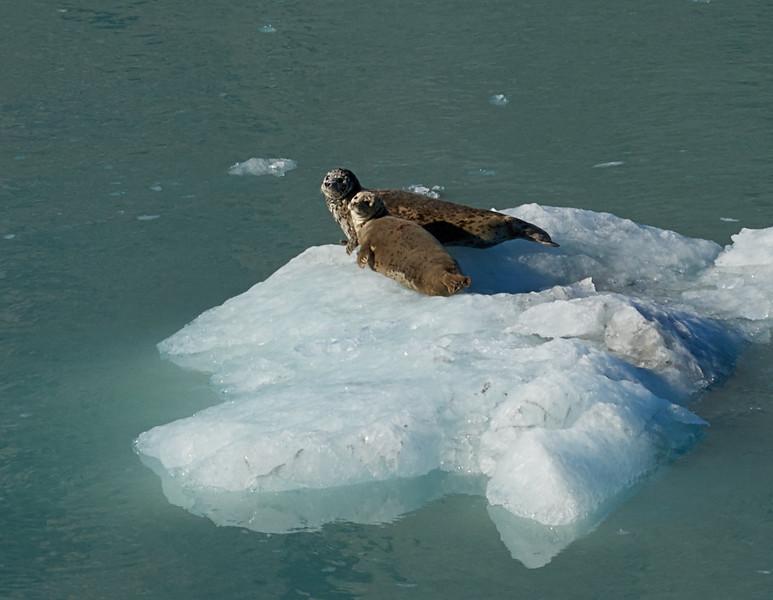 Seals resting on an ice-floe in Glacier Bay, Alaska