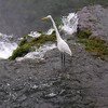 Egret at top of the Iguazu waterfall.  Viewed from Brazilian side