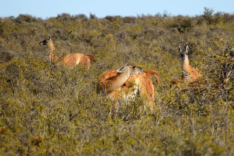 Guanaco (Peninsula Valdes, Patagonia).