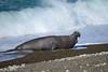 Bull elephant seal (Peninsula Valdes, Patagonia).