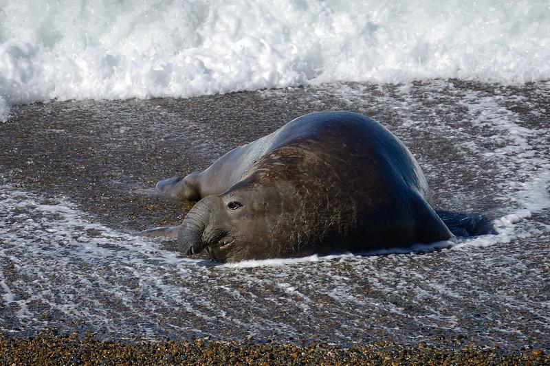 Bull elephant seal, note his characteristic proboscis.