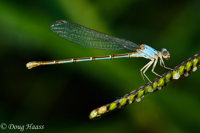 Powdered Dancer Argia moesta female damselfly