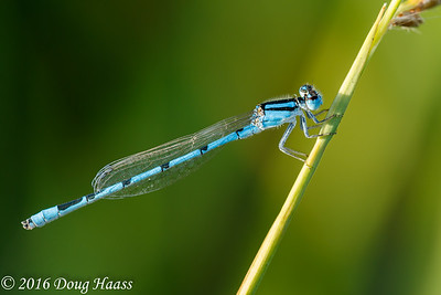Familiar Bluet Enallagma civile male damselfly at Boggy Batou in Pasadena, TX.