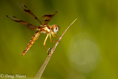 Eastern Amberwing Perithemis tenera female dragonfly