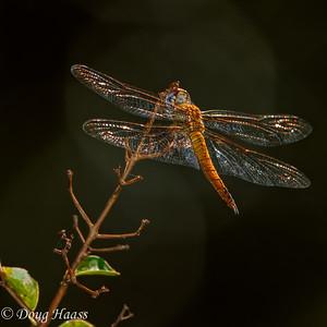 Wandering Glider Dragonfly Pantala flavescens