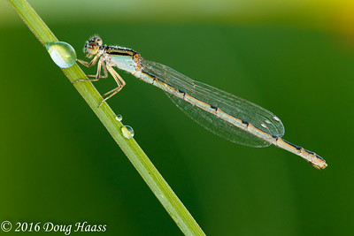 Citrine Forktail Ischnura hastata - female taken at Boggy Bayou in Pasadena, TX