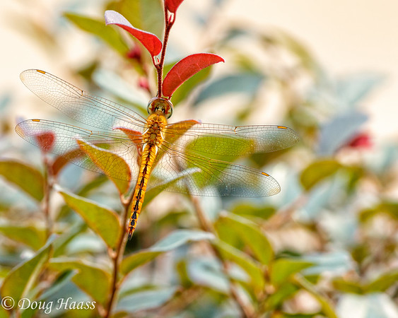 Female Wandering Glider Pantala flavescens dragonfly in my yard, Deer Park, TX