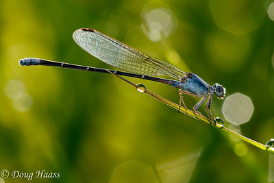Powdered Dancer Argia moesta male damselfly
