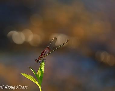 American Rubyspot Hetaerina americana male Damselfly at Boggy Bayou