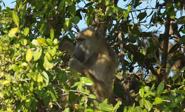 Baboon munches on figs
