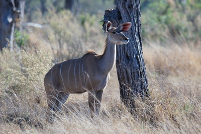 Happy kudu
