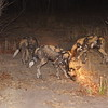 "Wild aka ""painted"" dogs on the prowl"