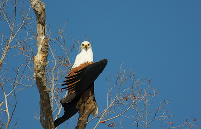 Fish eagle spreads its wings