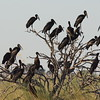 Open billed storks commonly take over entire trees