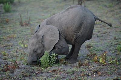 Baby elephants are so cute.