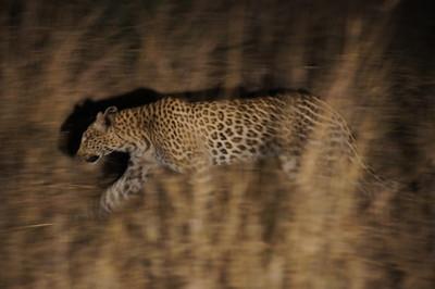 Leopard stalks impala