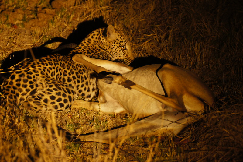 Leopard strangles impala