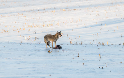 Coyote And Dinner