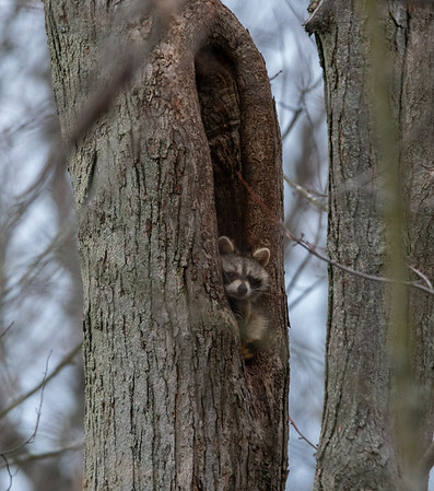 Racoon Playing Hide and Seek