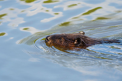 Beaver On The Move