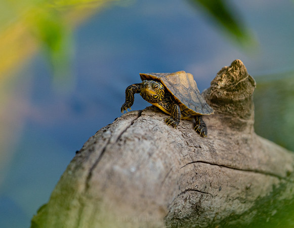 Baby Turtle On a Branch