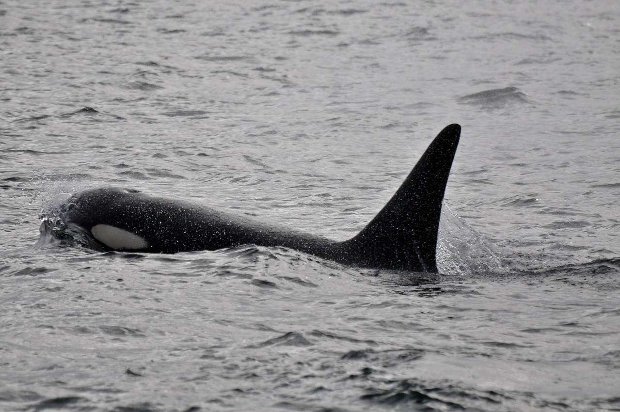 Orca in Fredricks sound.