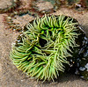 Cannon Beach -  Anemone in Tidal Pool at Haystack Rock - Oregon Coast