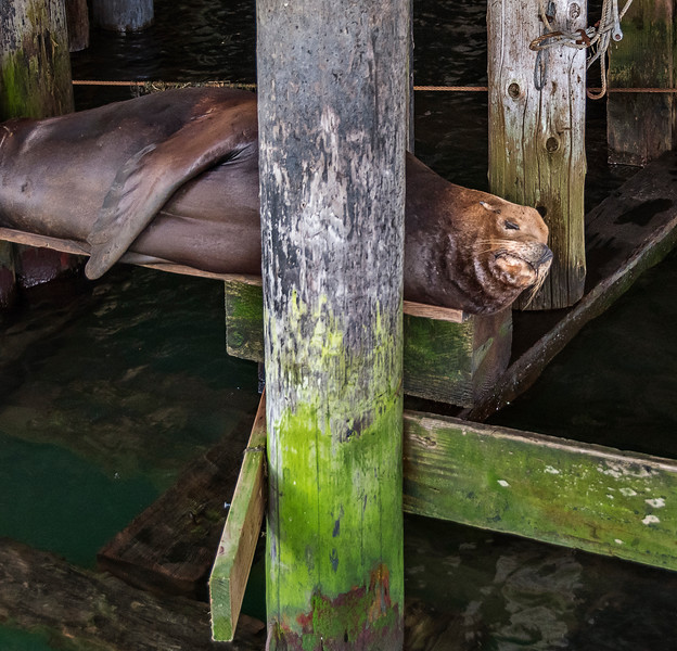 Astoria Street Scenes - Seal Under the Pier
