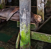 Astoria Street Scenes - Seal Under the Pier