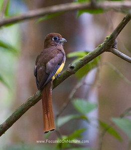 Female Black-throated Trogon