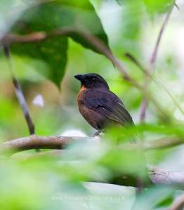Black-cheek Ant Tanager