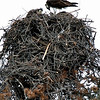 Osprey nest in tree. Shot using 200mm focal length. Cropped image. Colorado August 2007