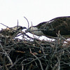 Osprey nest in tree. Shot using 300mm focal length. Cropped image. Colorado August 2007