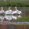 Pelicans not very far from the Osprey nest, Colorado, August 2007.
