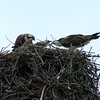 Osprey nest in tree. Shot using 300mm focal length. Colorado August 2007