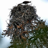 Osprey nest in tree. Shot using 200mm focal length. Colorado August 2007
