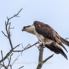Osprey 19 September 2017-8099