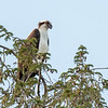 Osprey Frederick 20 September 2017-8189