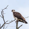 Osprey 19 September 2017-8089