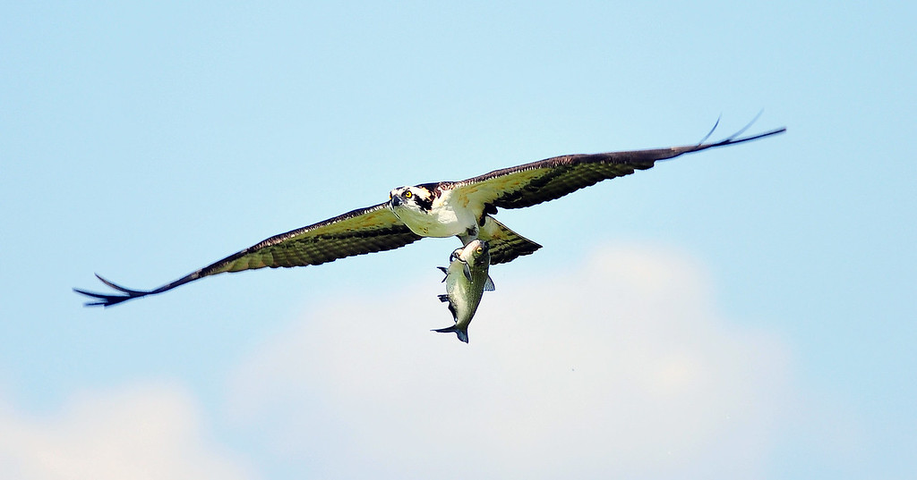 Osprey with fish, Lakeland, FL