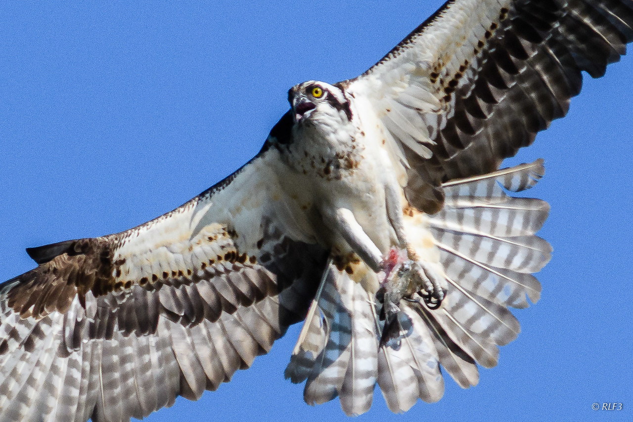 The female osprey swoops in for landing with lunch for its chick.