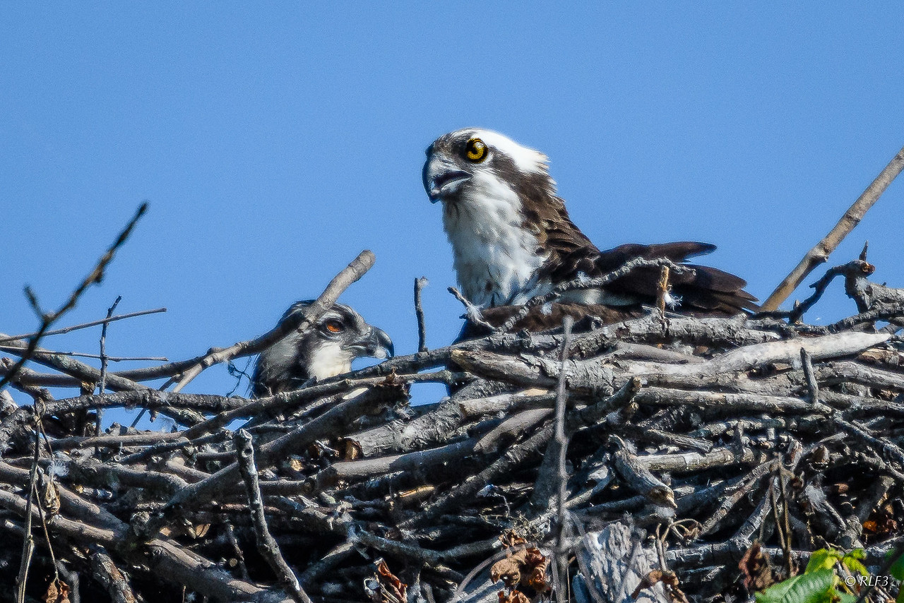 Here is a better photo of the female osprey and her chick.