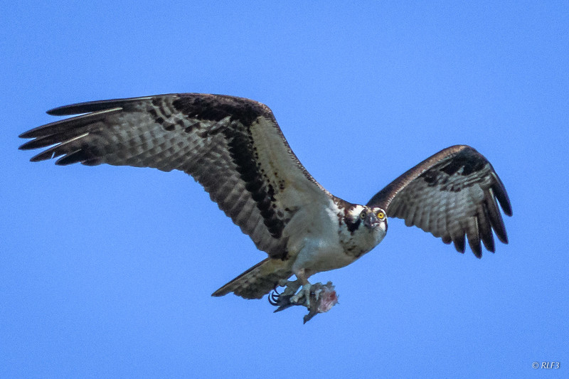 When I returned in mid-July, neither adult was in the osprey nest but I could hear the chick calling from inside the nest.  Soon the female returned carrying half a fish for its chick.  I never saw the male again.