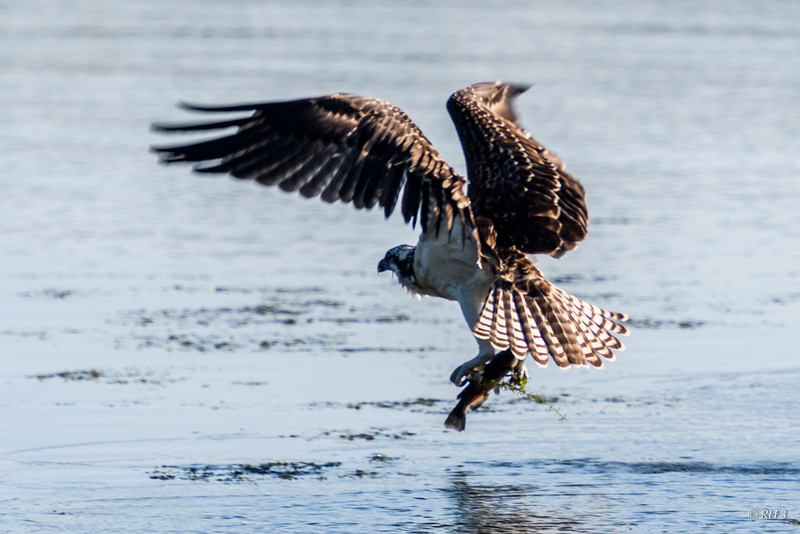 The juvenile osprey comes up with a fish and a little garnish.