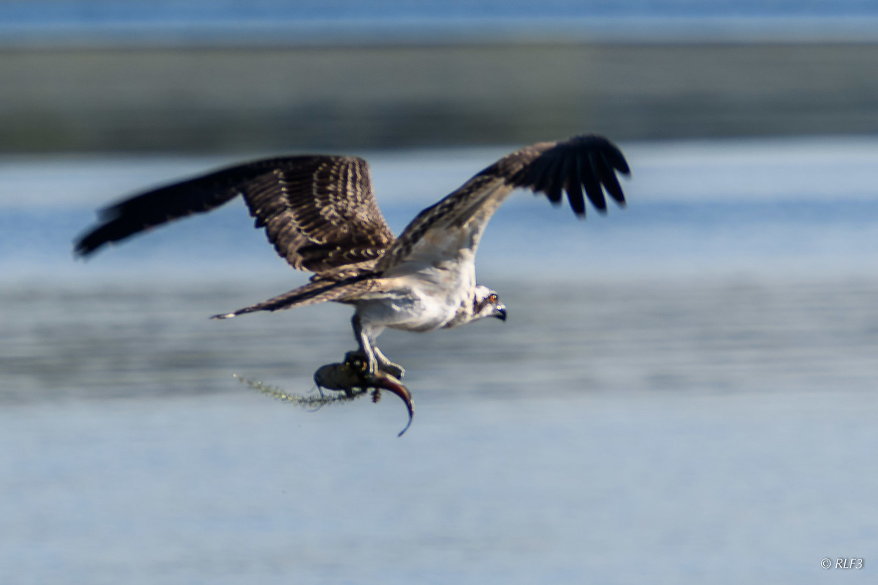 The juvenile osprey takes flight with its catch.