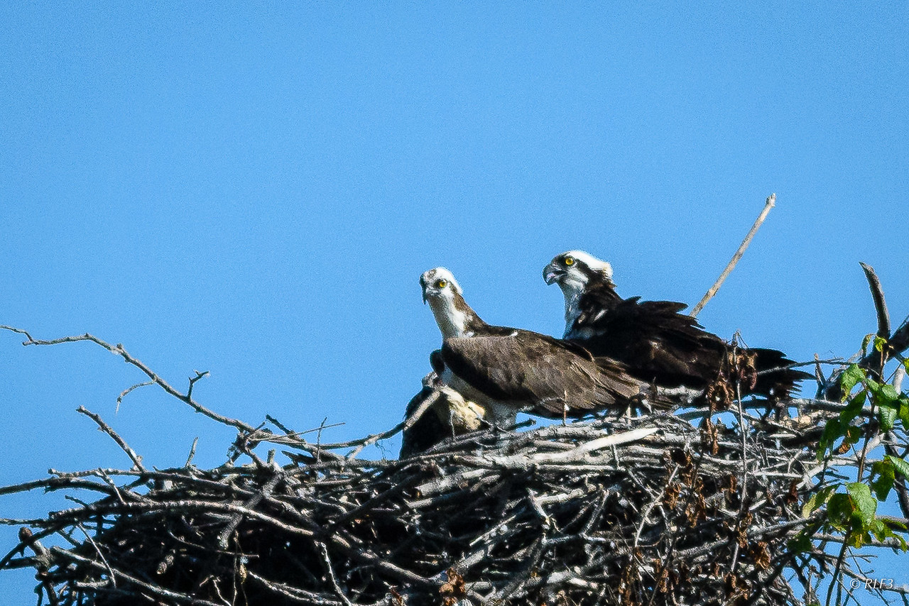 Early in the summer, I came across a family of osprey at Pohick Bay Regional Park.  Pictured here are the male (center) and female (right).  Their chick can be seen to the left of and behind the male.