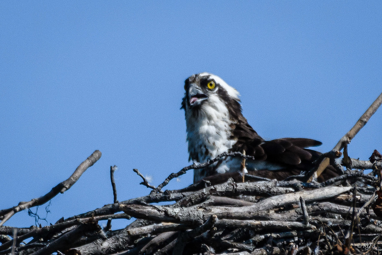 The female osprey appears to be taunting me.