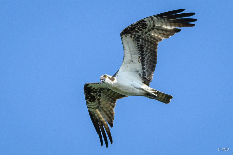 The male osprey had taken off and began circling me to make sure that I wasn't a threat to his family.