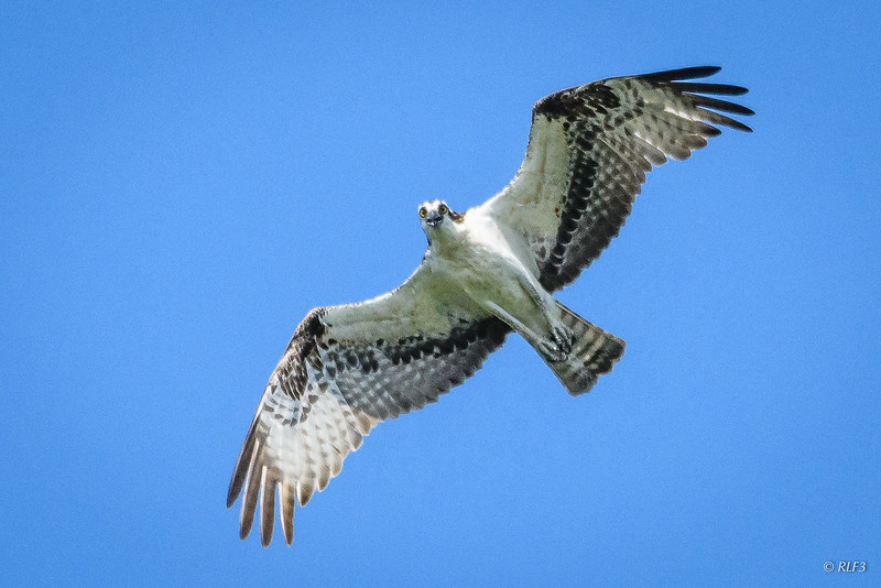 The male osprey is giving me a close up inspection.